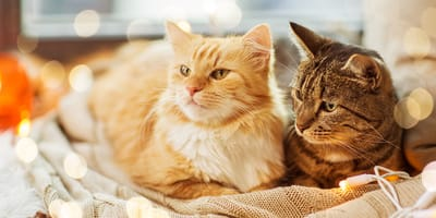 Wolisz koty krótko czy długowłose?
